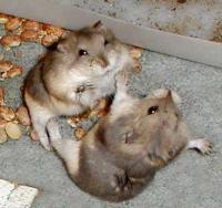 Hamster, Hamsterhausen